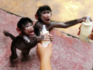 Baby Hamadryas baboons reach for milk bottles as a zookeeper feeds them at a zoo in Hangzhou