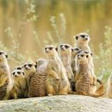 Suricate or meerkat (Suricata suricatta) family