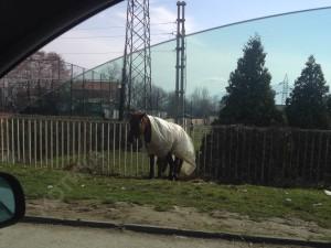 konj-tetovo