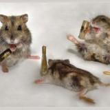 three_drunk_mice