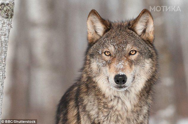 Низ Париз скитаат и завиваат волци