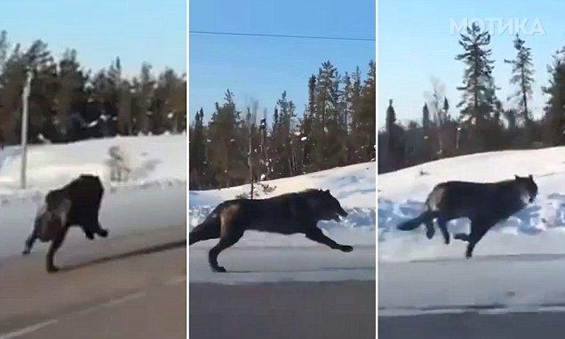 Крвта и замрзнала кога видела две огромни црни волци како трчаат покрај нејзиниот автомобил на канадски автопат