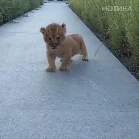 Идниот крал на животните треба малку да поработи на своето рикање