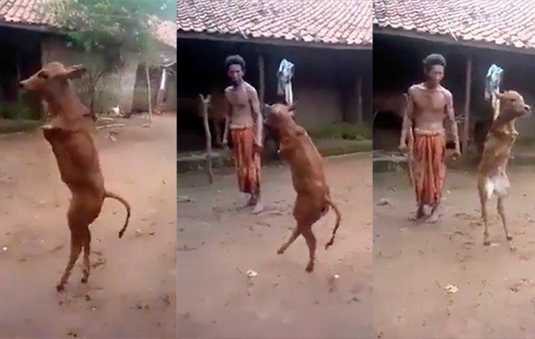 Маката го научила ова теле во Индија да оди на две нозе